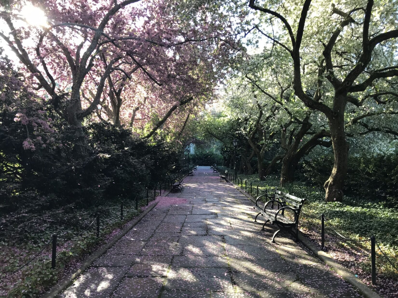 The path is shown strewn with pink fallen buds in the long shadows of evening.