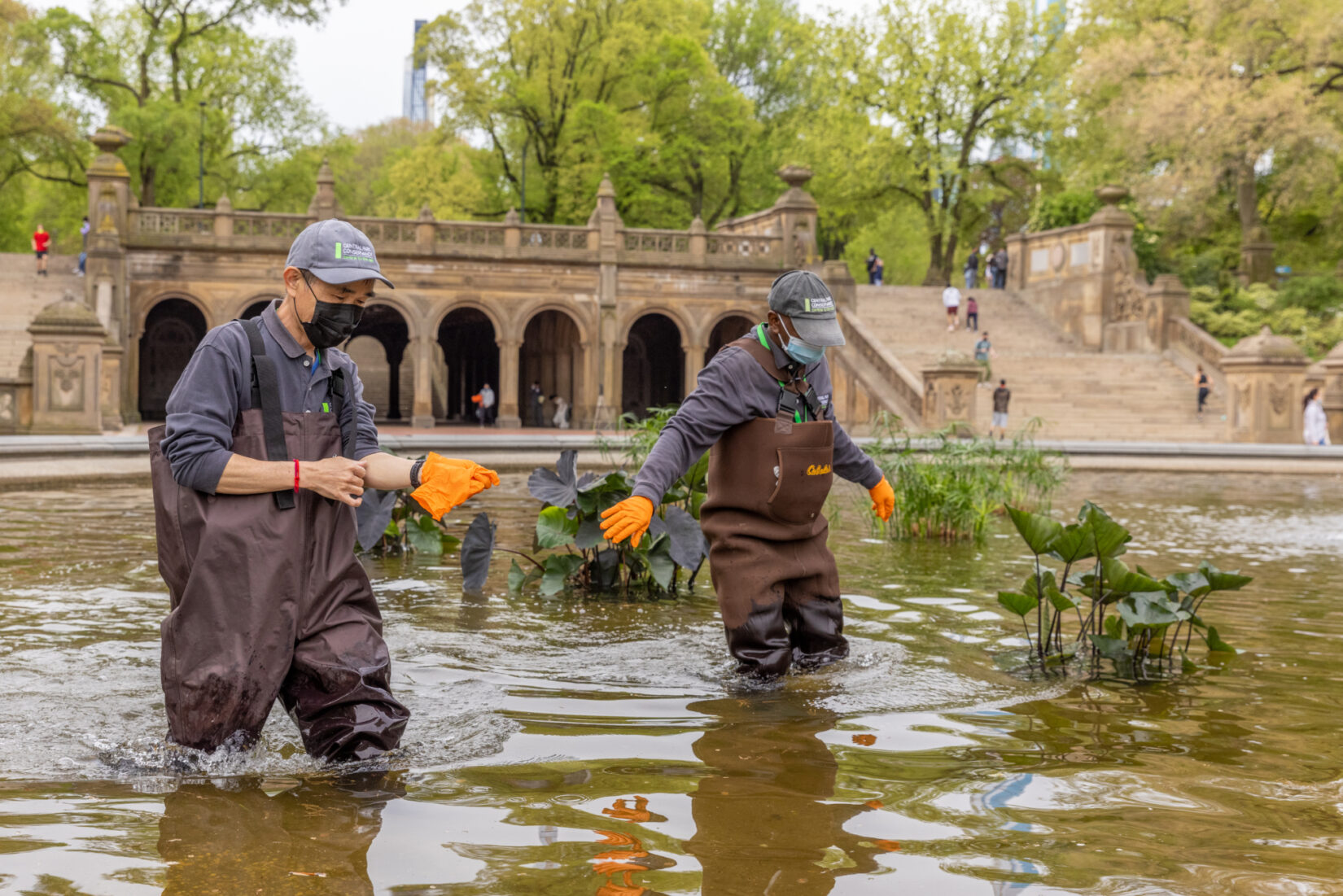 Conservancy staff wade through Bethesda Fountain, working with aquatic plantings.