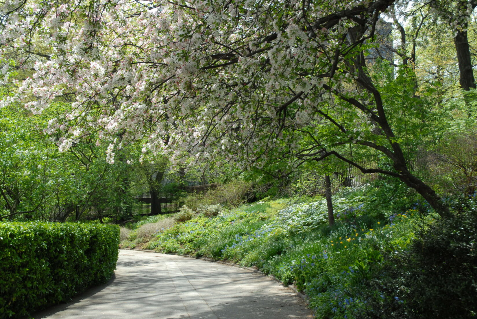 White blossoms arch over a curving path.