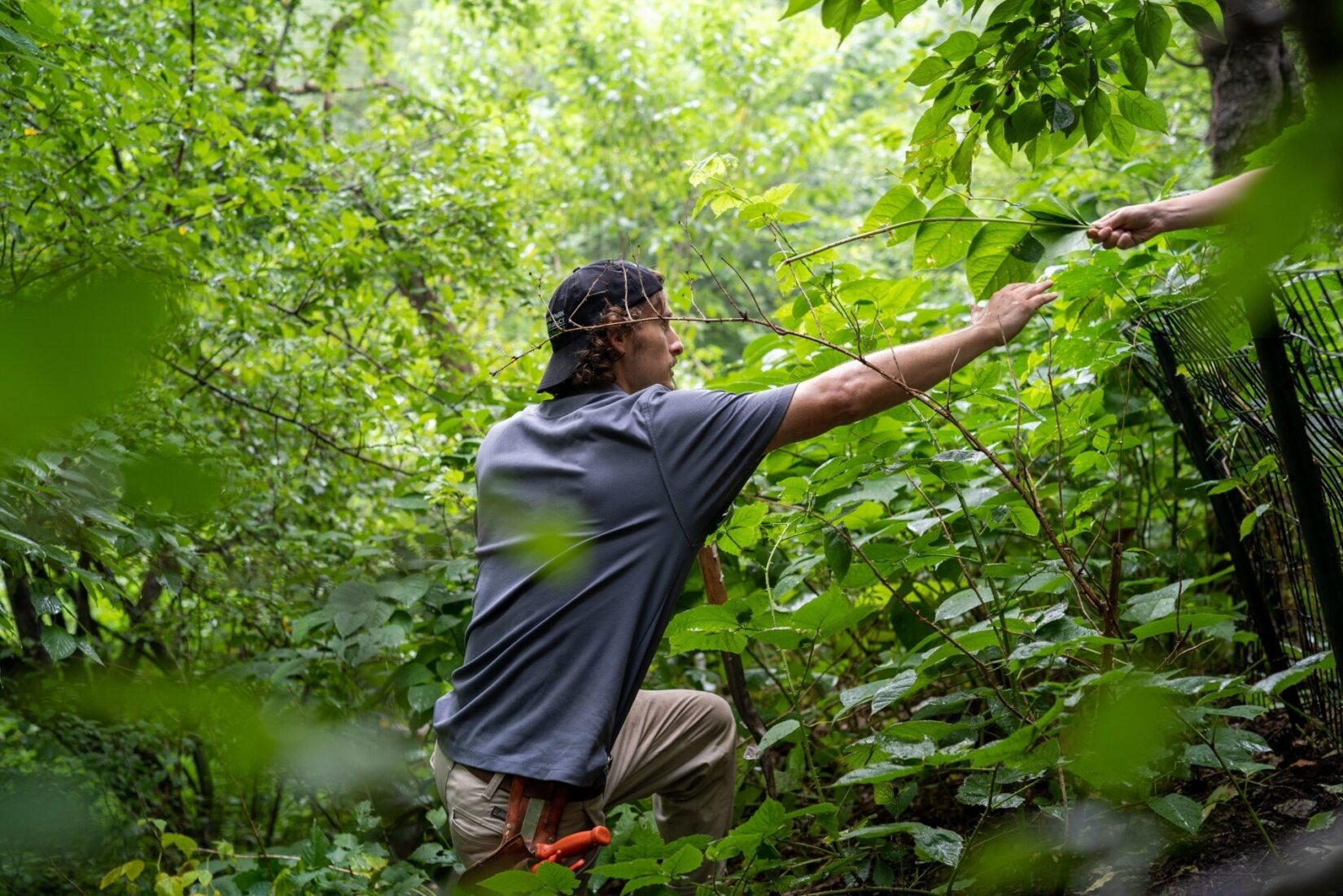 Conservancy worker Aubrey Carter, knee deep in underbrush, reaching toward a co-worker.