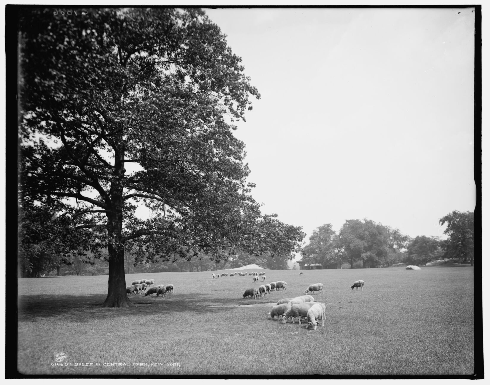 A black-and-white photo showing sheep grazing on the meadow.
