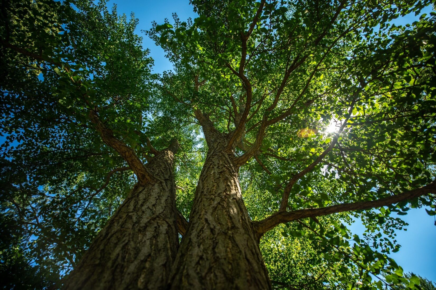 Looking up two tree trunks to see the Sun through green leafs