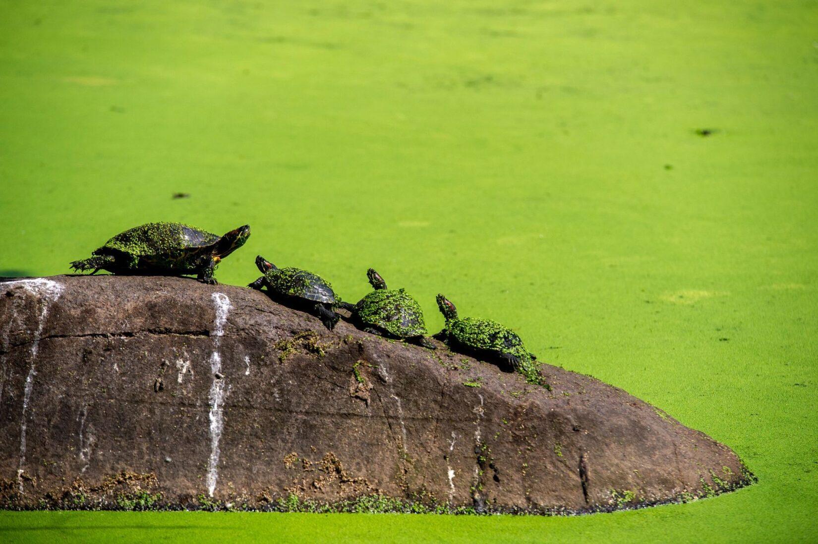 Turtles congregate on a rock amid a bright green algal bloom.