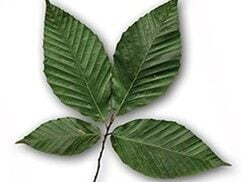 A detailed view of the leaves of a european beech