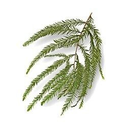 A sample branch of a baldcyrpess shwoing it's pine-like leaves