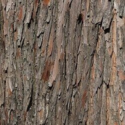 Detailed photo of the bark of the baldcypress