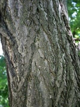 A detail view of the bark of a gingko tree