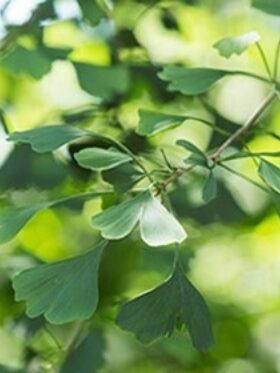 A close-up view of the leaves of a gingko tree