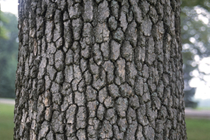 A detail of the bark of a tupelo tree