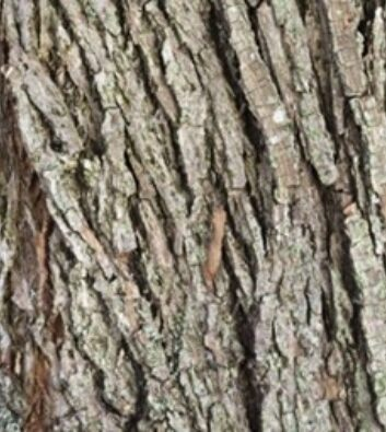 Detail of bark on a weeping willow