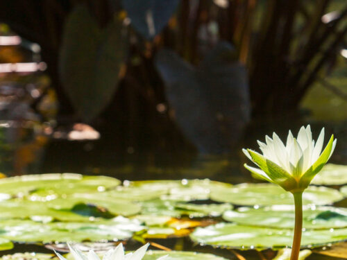 Water lillies on the Pond