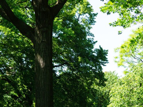 A parkgoer reading below the towering height of a tree on the edge of the Great Lawn