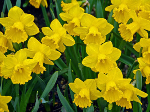 Blooms daffodils l