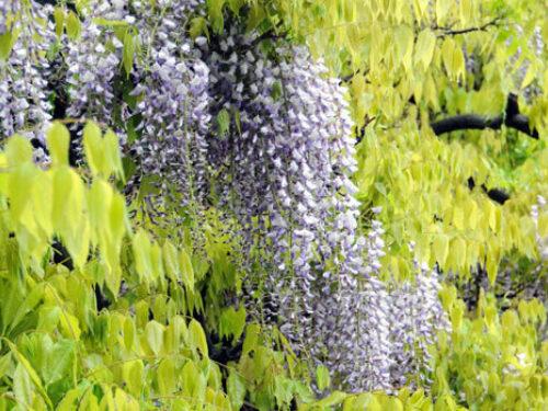 Blooms wisteria l