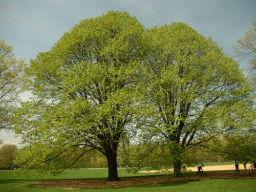 Great lawn tree walk