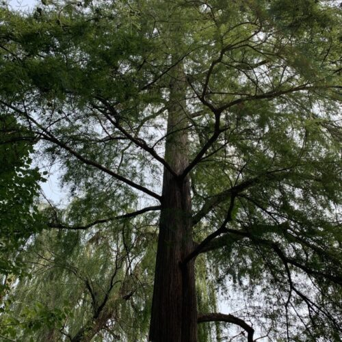 1 Baldcypress full