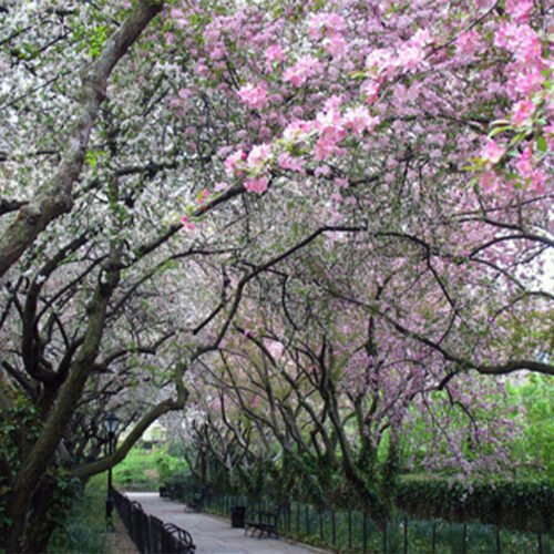 Pictured in Spring, the Crabapple Allee is festooned with fresh pink buds
