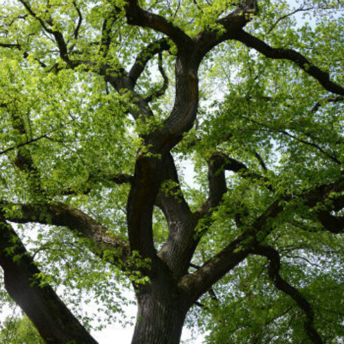 The thick, dark branches of an American Elm are shown in stark relief against early-Spring leaves.