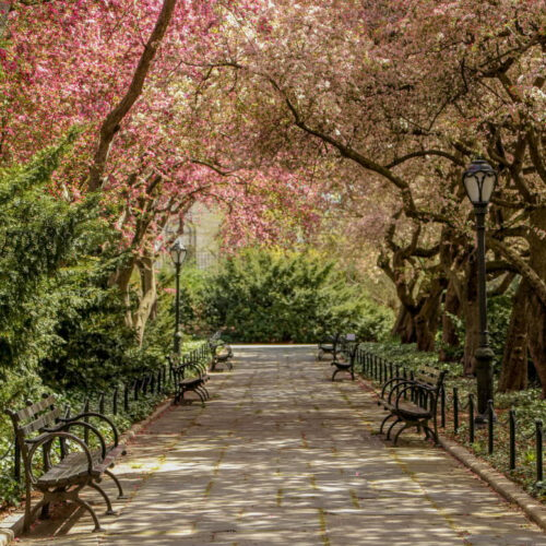 Looking down the crabapple allée in spring