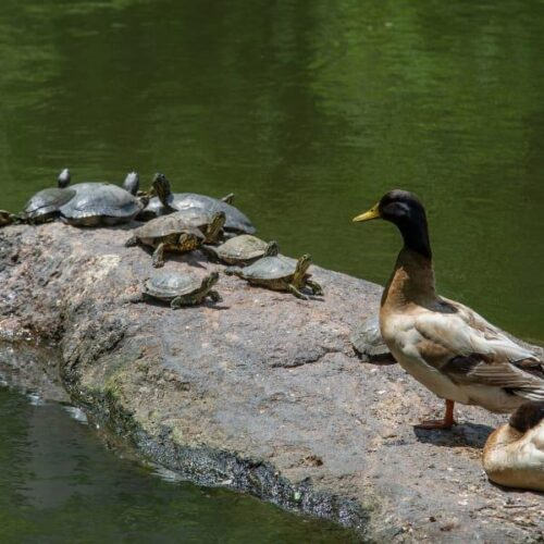 Turtles cluster at the end of a rock in the pond while two ducks stand by impassively