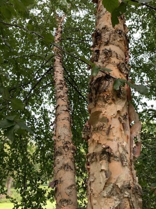 The trunk of a river birch, highlighting its bark