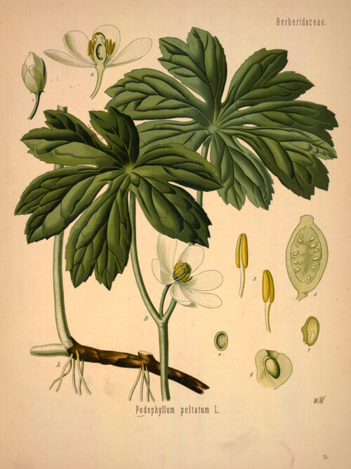 A drawn scientific illustration showing details of the plant.