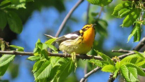 Blackburnian Warbler Ursula Mitra 2020