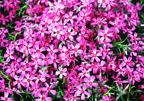 A view of the hot pink blooms