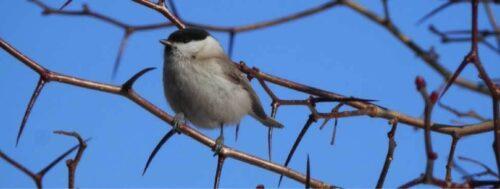 Winter wildlife chickadee