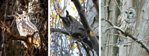 Winter wildlife owls