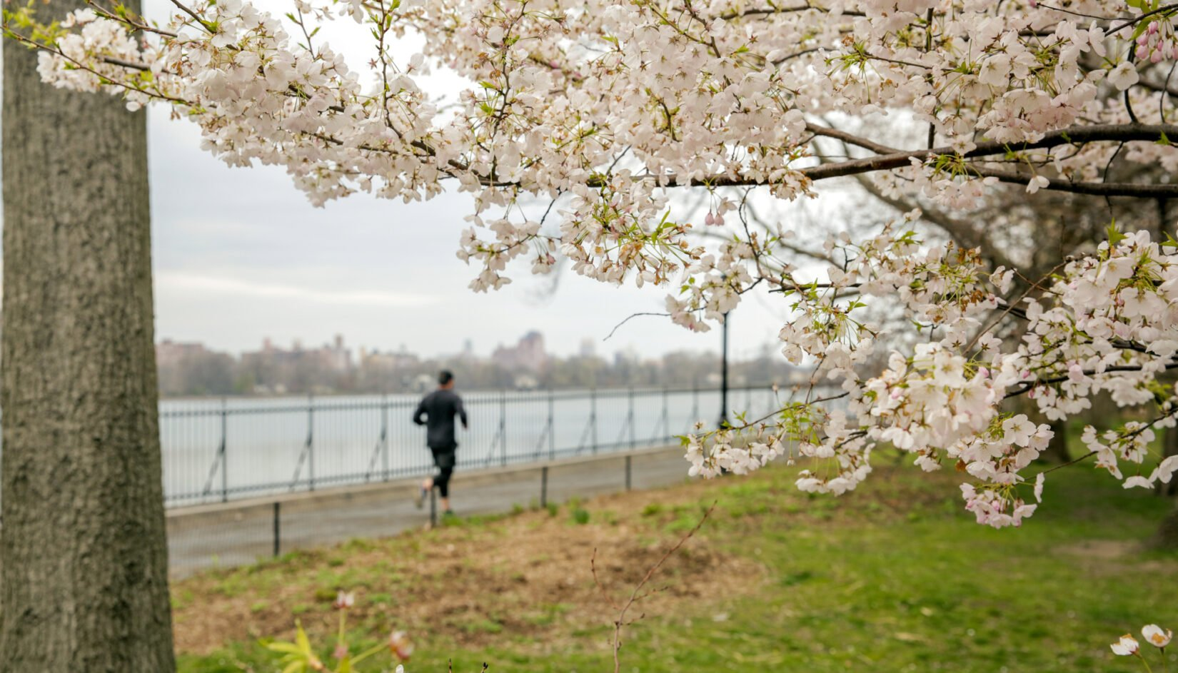Cherry blossoms are shown in the foreground, with a lone jogger circling the Reservoir in the background.