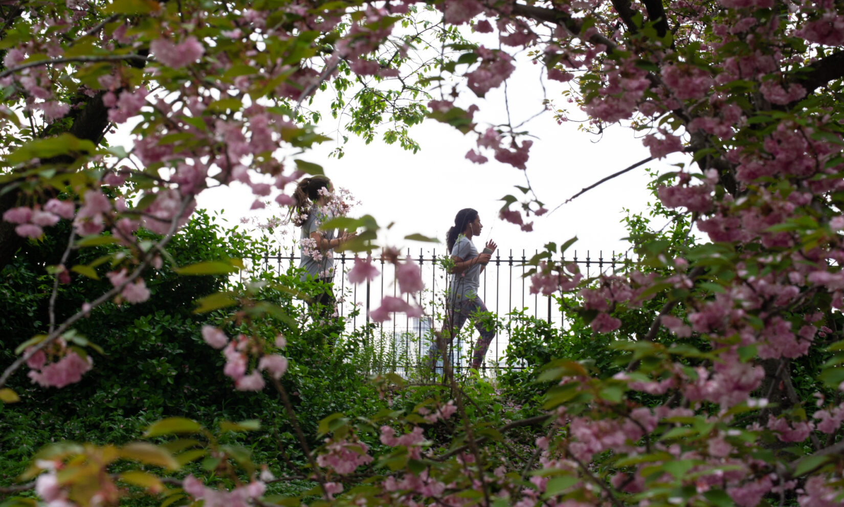 Two runners seen through a bough of blossoms at the Reservoir