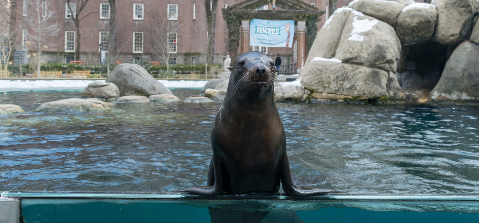 A seal props itself up along the perimeter of its pool.