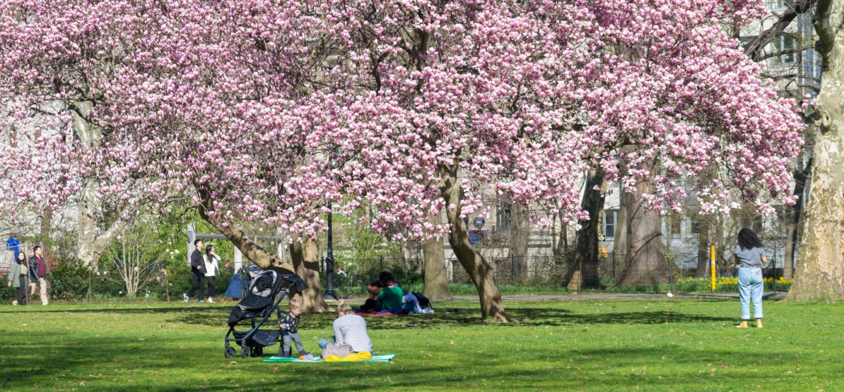 Visitors enjoy sitting under a canopy of blossoming cherry trees on the East Green